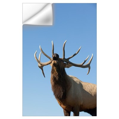 A Rocky Mountain Bull Elk Bugling During The Autum Wall Decal