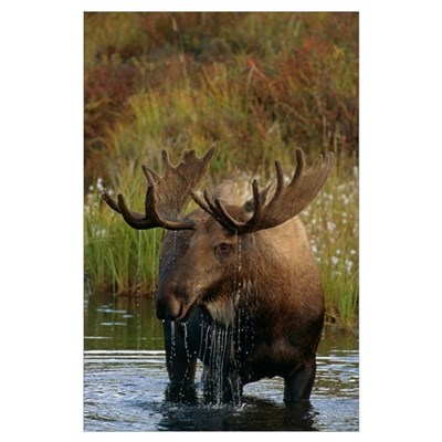 Bull Moose In Pond, Denali National Park, Alaska Poster