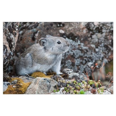 Collared Pika Sits In Rockpile, Denali National Pa Poster