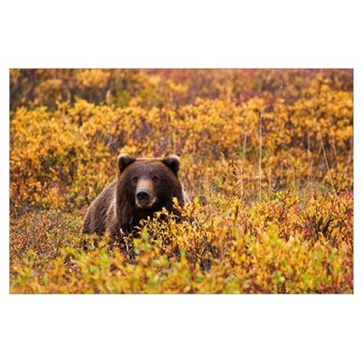 An Adult Brown Bear Amongst The Fall Foliage In De Poster