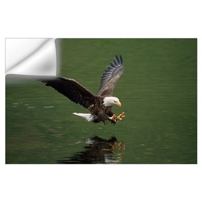 Bald Eagle In Flight Catching Fish, Aleutian Islan Wall Decal