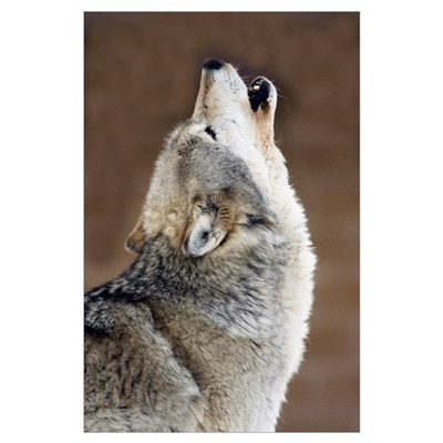 Gray Wolf Howling Poster