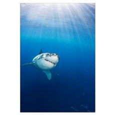 Mexico, Guadalupe Island, Great White Shark (Carch Framed Print