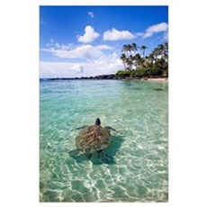 Hawaii, Green Sea Turtle (Chelonia Mydas) An Endan Poster