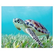 Hawaii, Green Sea Turtle (Chelonia Mydas) An Endan Framed Print