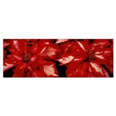Close-up of Poinsettia flowers, California Framed Print