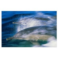 Common dolphins breaching in the sea Poster