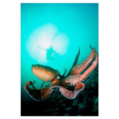Canada, British Columbia, Giant Pacific Octopus Wi Poster