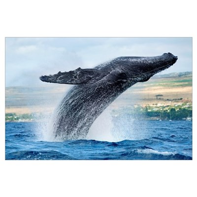 Hawaii, Maui, Humpback Whale Breaching With Island Poster