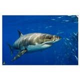 Shark Wrapped Canvas Art