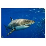Shark Framed Prints