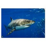 Shark Posters