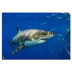 Mexico, Guadalupe Island, Great White Shark (Carch Canvas Art