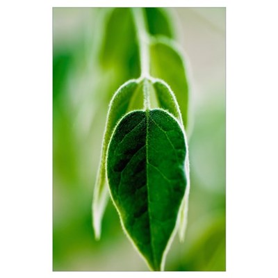 Evergreen Shrub (Osmanthus X Burkwoodii) Leaves Poster
