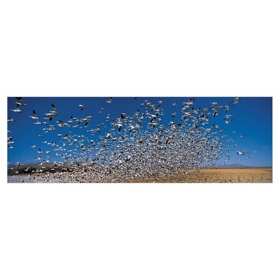 Flock of Snow geese (Chen caerulescens), Socorro C Poster