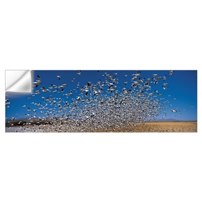 Flock of Snow geese (Chen caerulescens), Socorro C Wall Decal