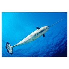 Male Narwhal (Monodon Monoceros) In Clear Blue Oce Framed Print