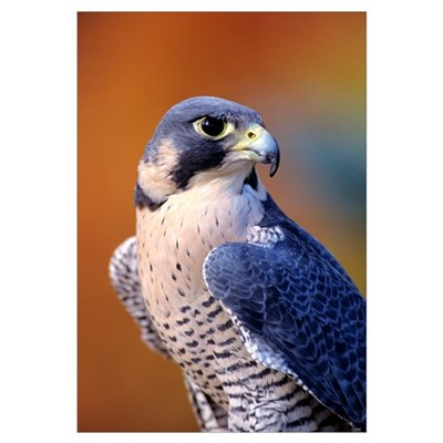 Closeup Of An Adult Male Peregrine Falcon Framed Print