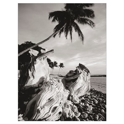 Hawaii, Maui, Olowalu, Palm Tree And Driftwood In Framed Print