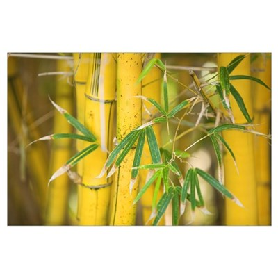Close-Up Of Bamboo Stalks And Leaves Poster