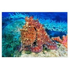 Fiji, Day Octopus (Octopus Cyanea) With Textured B Poster