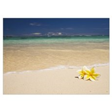 Hawaii, Oahu, Lanikai Beach, Two Plumerias Resting Poster
