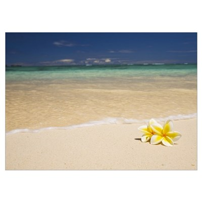 Hawaii, Oahu, Lanikai Beach, Two Plumerias Resting Poster