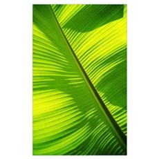 Close-Up Of Bright Green Banana Leaf Framed Print