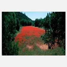 Red poppies flowers in a field, Provence-Alpes-Cot