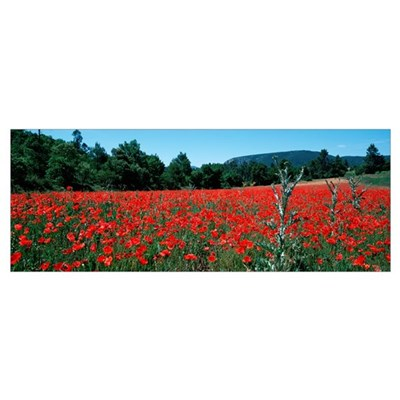 Red poppies flowers in a field, Provence-Alpes-Cot Framed Print