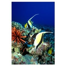 Hawaiian Reef Scene, Moorish Idol, Slate Pencil Se Framed Print