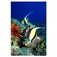 Hawaiian Reef Scene, Moorish Idol, Slate Pencil Se Poster