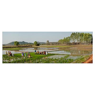 Women in a rice field, Jaypore, Koraput District, Poster