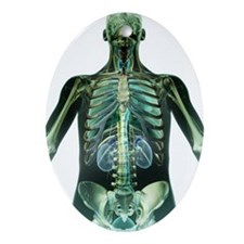 The respiratory and urinary system Ornament (Oval)