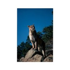 Cougar standing on rocky ledge Rectangle Magnet