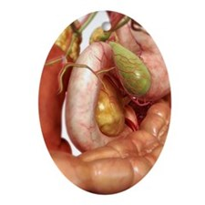 The gall bladder Ornament (Oval)