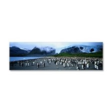 King penguins (Aptenodytes patag Car Magnet 10 x 3