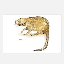 Muskrat Animal Postcards (Package of 8)