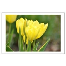 Yellow Tulips Posters