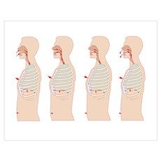 Mechanics of respiration, artwork Poster