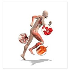 Athlete physiology, artwork Poster