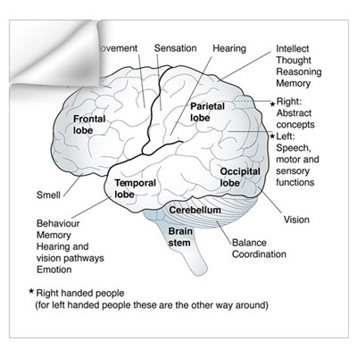 Functional areas of the brain, artwork Wall Decal