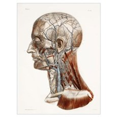 Head and neck anatomy, historical artwork Poster