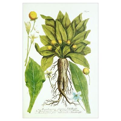 Mandrake plant, historical artwork Poster