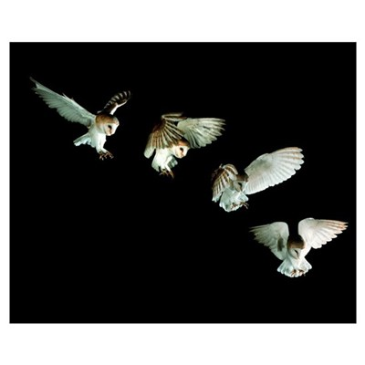 Barn owl Canvas Art