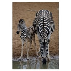 Burchell's zebra with foal Canvas Art