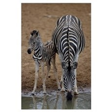 Burchell's zebra with foal Poster