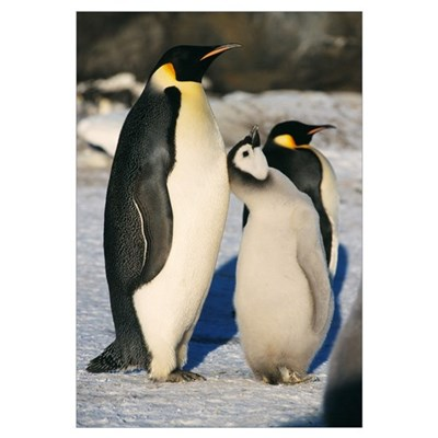Emperor penguins with chick Canvas Art