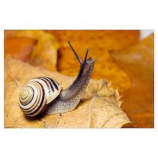 White-lipped snail Poster