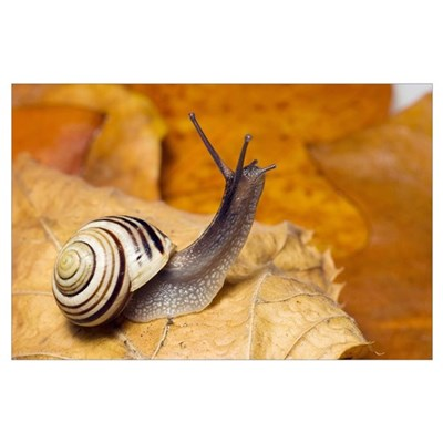 White-lipped snail Poster